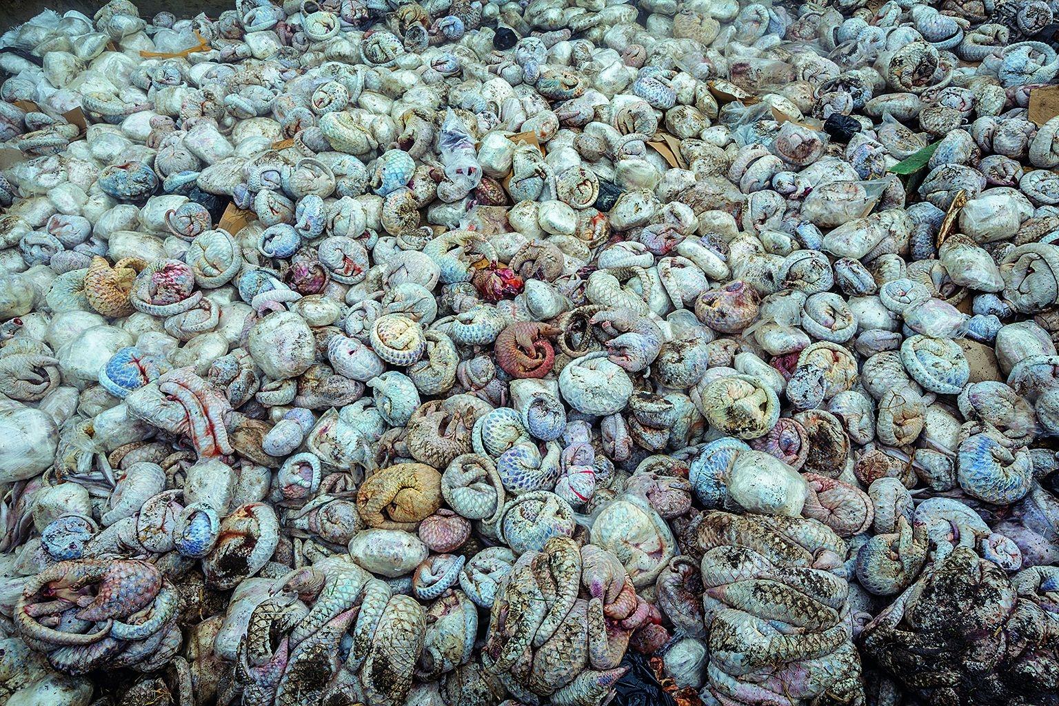 穿山甲的鱗片和肉都是非法交易的誘因,有些人視穿山甲肉為珍饈。2015年4月,在印尼一個本來應該裝冷凍魚的船運貨櫃中,查獲了四千多隻冷凍穿山甲屍體,外加鱗片和近100隻活體。PAUL HILTON