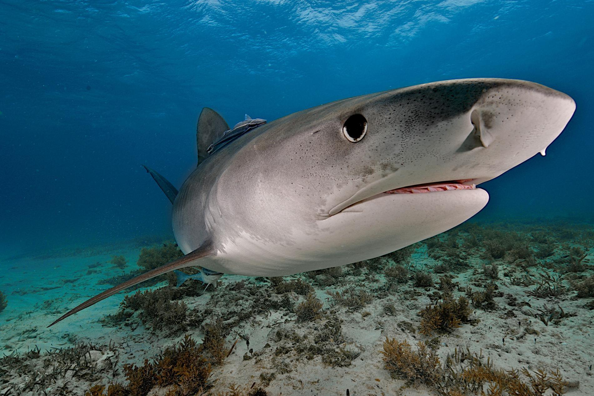 一頭鼬鯊(tiger shark)在巴哈馬外海游泳。這種掠食者也是完美無缺的食腐動物,具備絕佳的視覺與嗅覺。PHOTOGRAPH BY BRIAN J. SKERRY, NAT GEO IMAGE COLLECTION