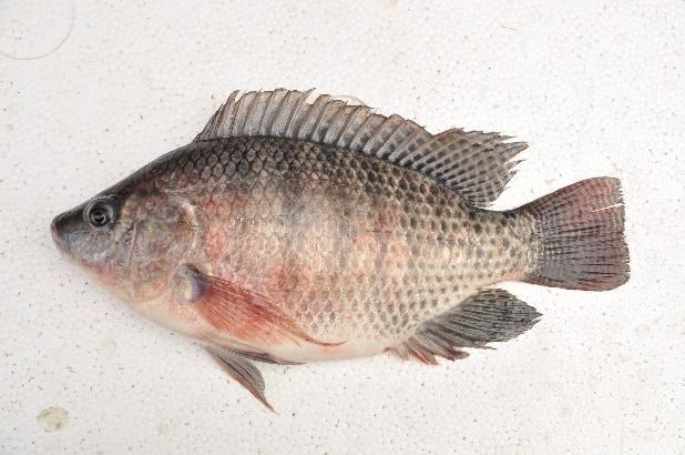 臺灣鯛又稱為吳郭魚,因適應力及抗病性皆佳、生產成本較低,故引進推廣人工養殖