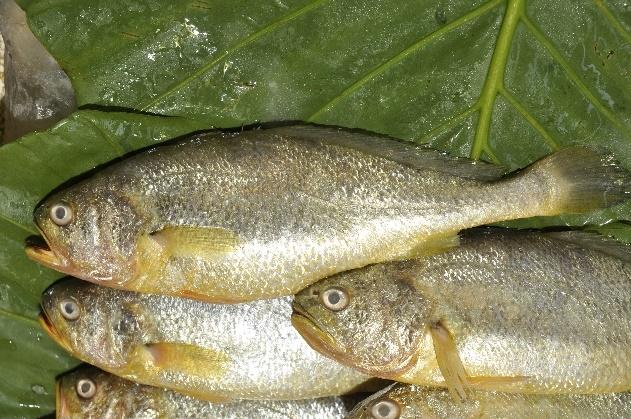 野生黃魚已極為少見,目前市面上皆為中國大陸所養殖。
