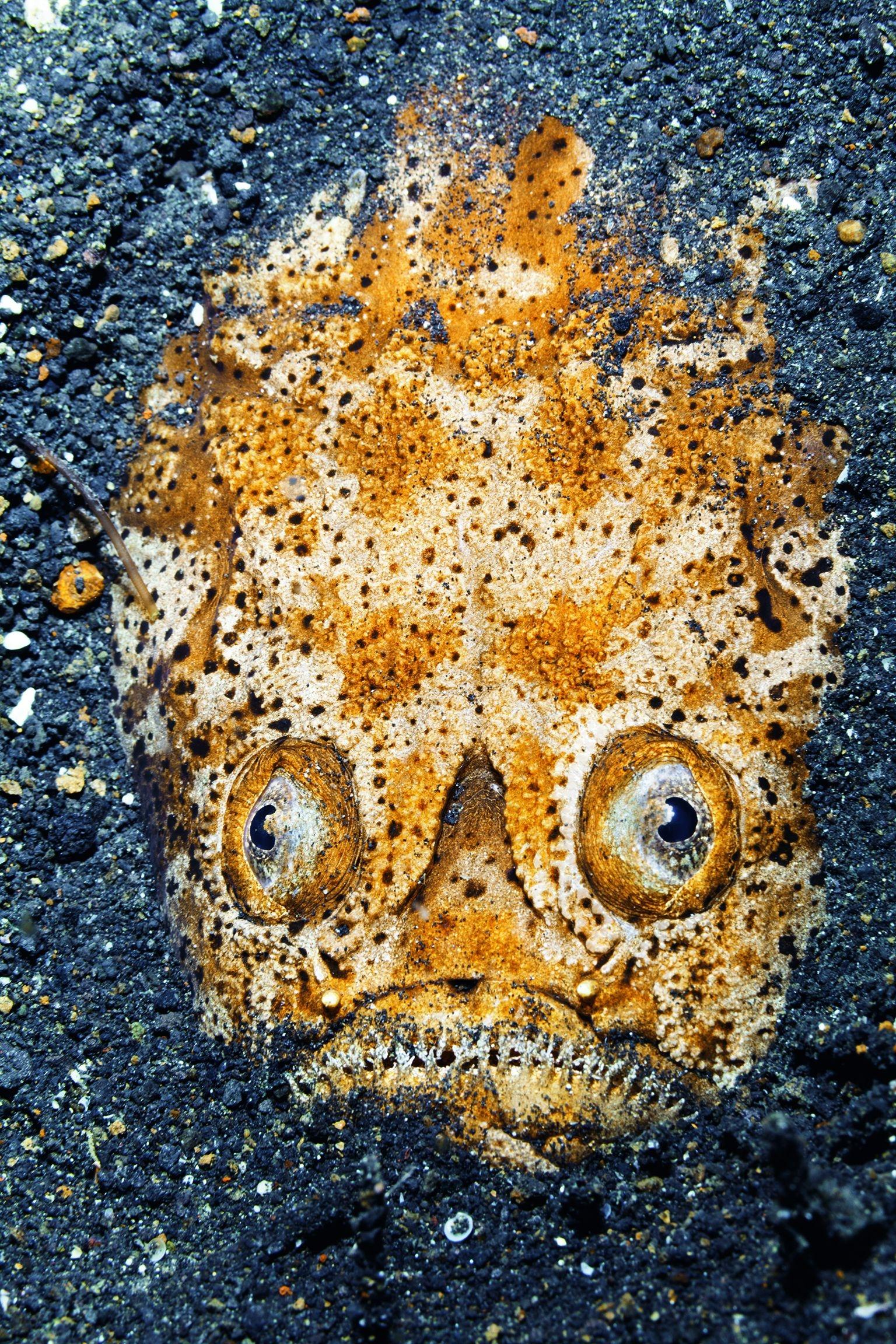 印尼。在蘇拉威西島東岸的藍碧海峽海床上,一條瞻星魚的臉部和大大的眼睛從黑色的火山砂中冒出來,這條魚的身長有30公分。瞻星魚的雙眼長在頭頂上(因此英文俗名為「觀星魚」),以伏擊的方式獵食。PHOTO: JENNIFER JO STOCK