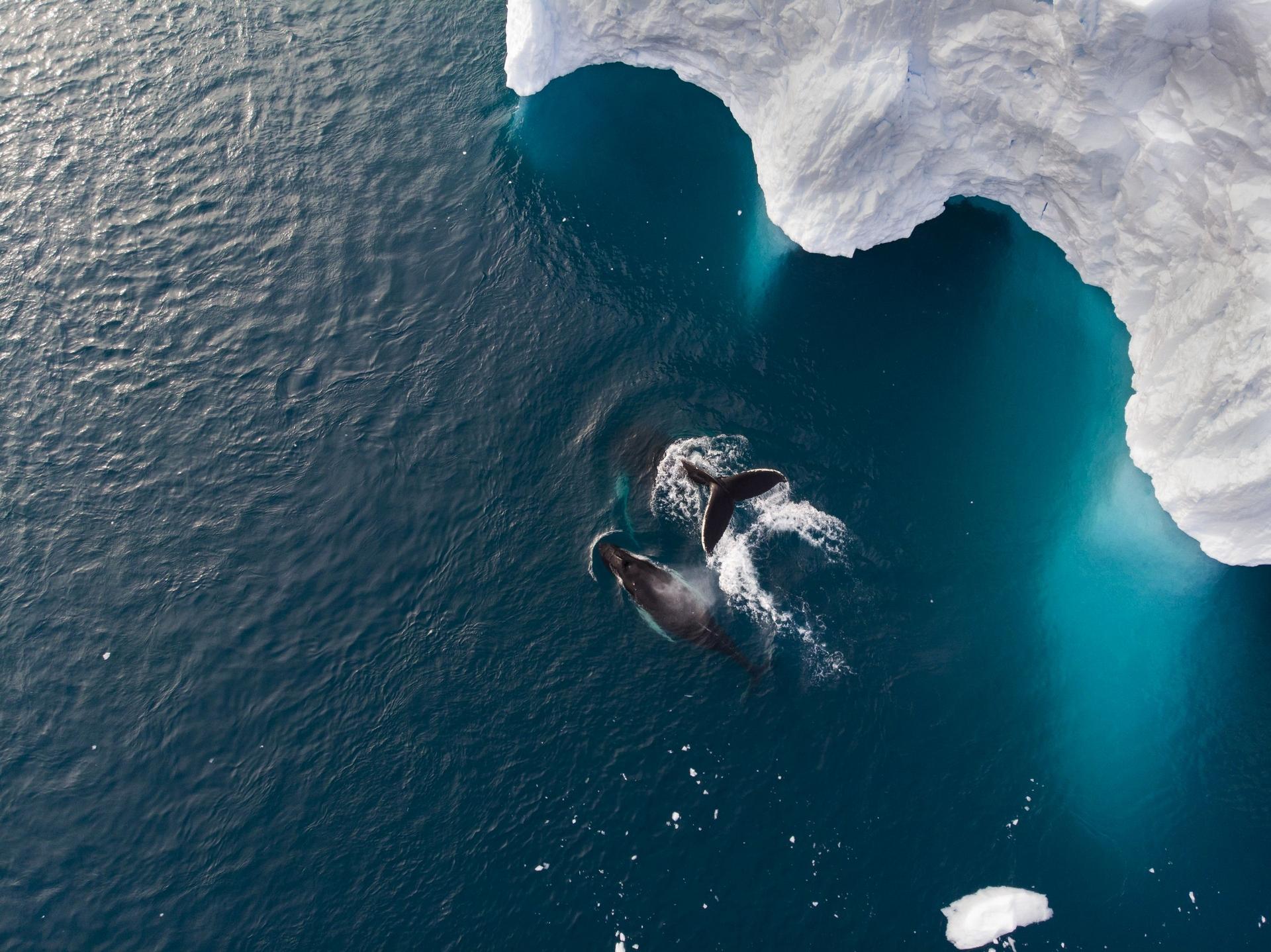 一隻母座頭鯨和幼鯨在格陵蘭島海岸游泳。座頭鯨在該地區受到保護,並每年夏季都會出沒於北極水域。