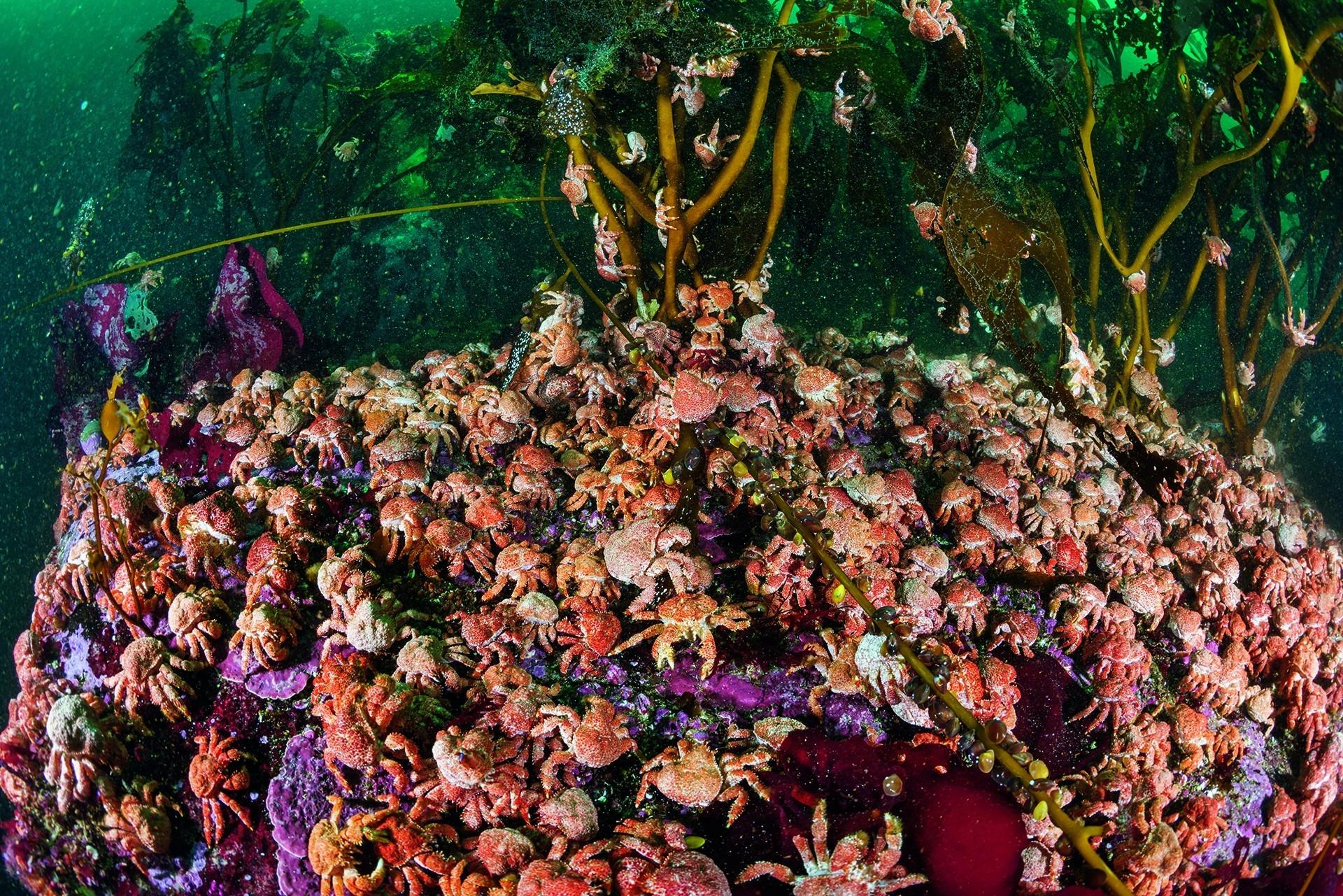 數以千計的顆粒仿石蟹(Paralomis granu-losa)幼蟹群聚在智利合恩角附近的一座巨藻森林中。這種蟹在當地被大量捕撈,如此大規模的群聚非常罕見。攝影:安立克.薩拉 ENRIC SALA