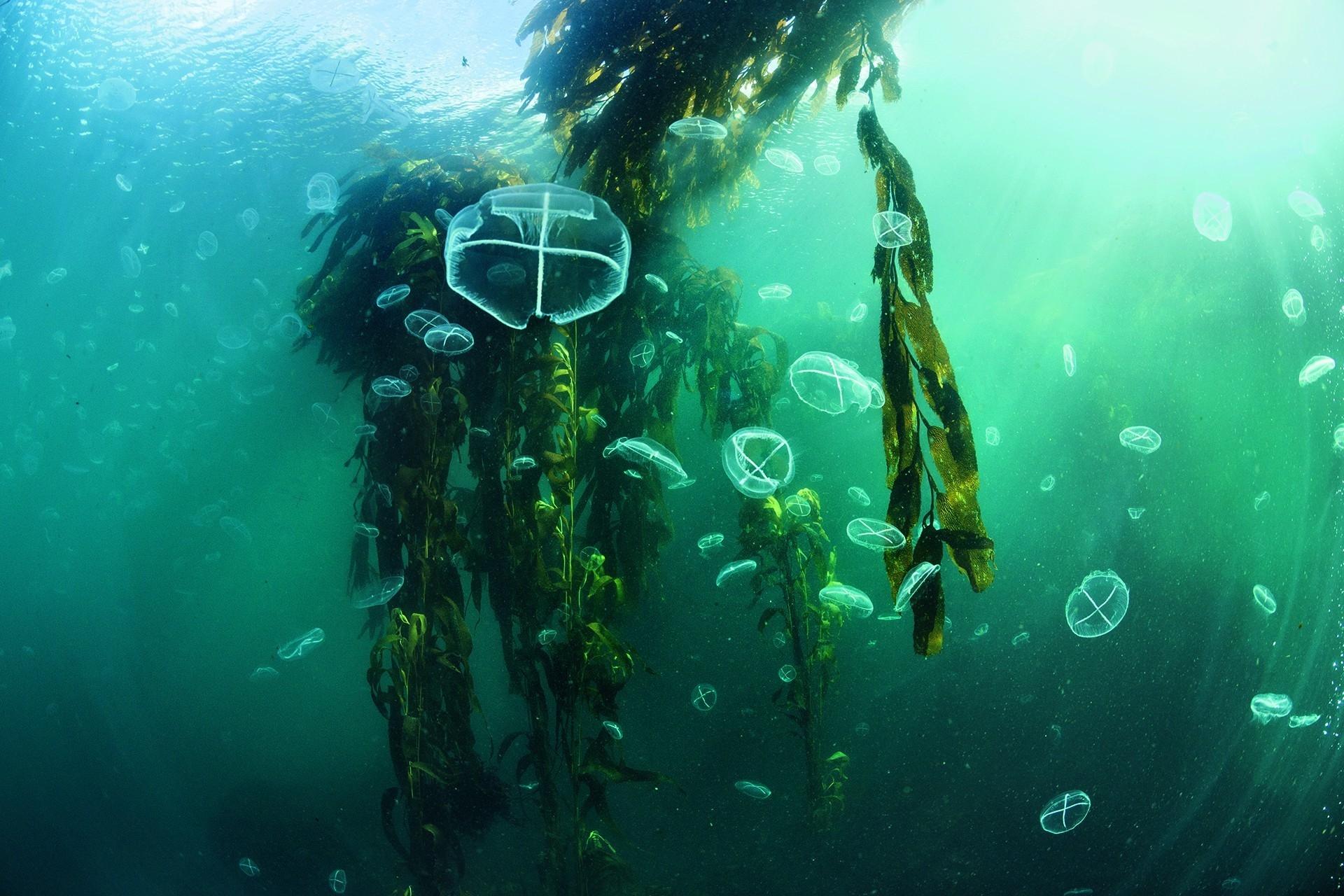 水母漂浮在阿根廷艾斯塔多島外海一座巨藻森林的藻葉之間。梨形囊巨藻(Macrocystis pyrifera)是海洋中最大的藻類,向上生長可超過45公尺。梨形囊巨藻森林孕育著地球上最具多樣性的生態系之一。攝影:安立克.薩拉 ENRIC SALA