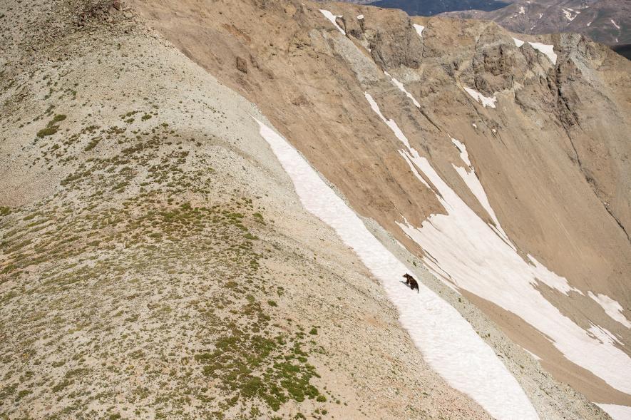 在懷俄明州,一隻灰熊沿著岩屑坡往上爬。高山上的碎石坡是熊尋找行軍夜蛾的好地方,牠們大量食用行軍切夜蛾。PHOTOGRAPH BY JOE RIIS, NAT GEO IMAGE COLLECTION