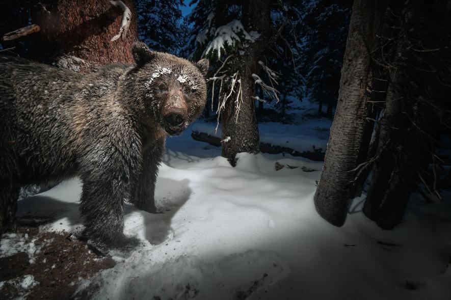 在黃石國家公園(Yellowstone National Park)附近的一台相機陷阱,捕捉到一頭灰熊從松鼠的食物貯藏處偷走美國白皮松松子。堅果是雜食性熊的重要食物來源。PHOTOGRAPH BY DREW RUSH, NAT GEO IMAGE COLLECTION