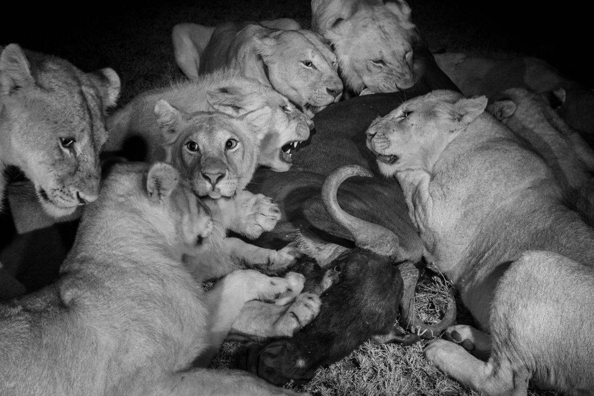 在塞倫蓋提國家公園(Serengeti National Park)裡,汶比獅群(Vumbi pride)的成年母獅與較大的幼獅享用一頭牛羚。母獅負責為獅群獵捕大部分的食物。PHOTOGRAPH BY MICHAEL NICHOLS, NAT GEO IMAGE COLLECTION