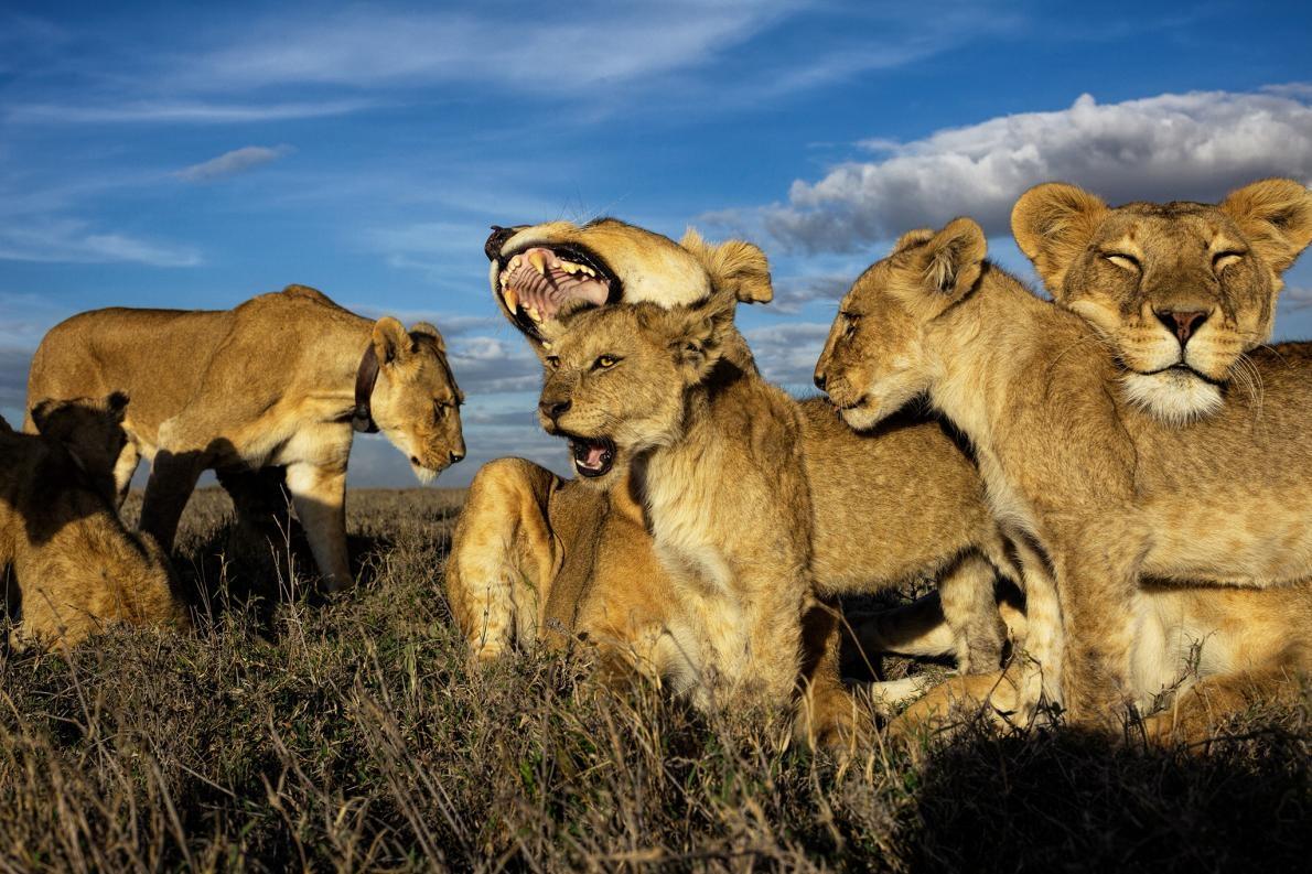 獅子是唯一一種群居的貓科動物,由母獅主宰獅群。年紀較大的幼獅會被聚在一起撫養,像是一間托兒所,就如同這張攝於坦尚尼亞塞倫蓋提國家公園的照片。PHOTOGRAPH BY MICHAEL NICHOLS, NAT GEO IMAGE COLLECTION