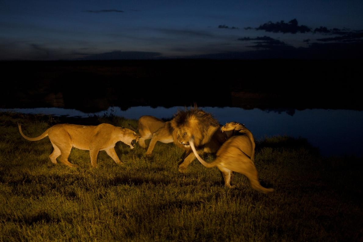 汶比獅群的母獅很緊張,而且對幼獅有強烈保護慾。儘管有一頭成年公獅「C男孩」(C-boy)是常駐該獅群的公獅之一,母獅仍對牠感到惱怒。PHOTOGRAPH BY MICHAEL NICHOLS, NAT GEO IMAGE COLLECTION