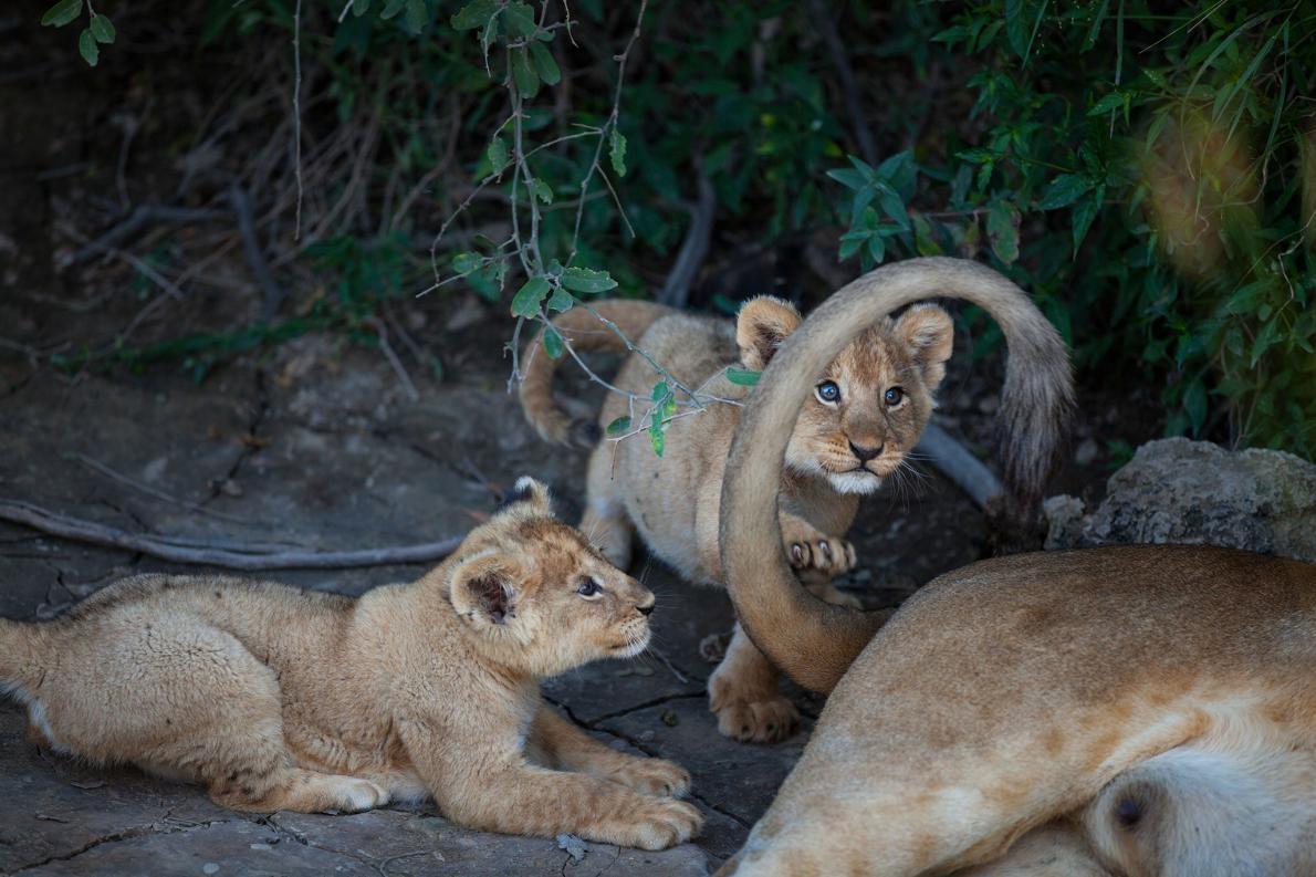 來自巴拉夫 獅 群(Barafu pride)的一對幼獅跟牠們母親的尾巴玩耍。PHOTOGRAPH BY MICHAEL NICHOLS, NAT GEO IMAGE COLLECTION