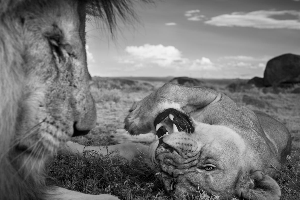 一頭稱為C男孩的成年公獅與一頭汶比獅群的母獅在交配間歇時休憩。PHOTOGRAPH BY MICHAEL NICHOLS, NAT GEO IMAGE COLLECTION