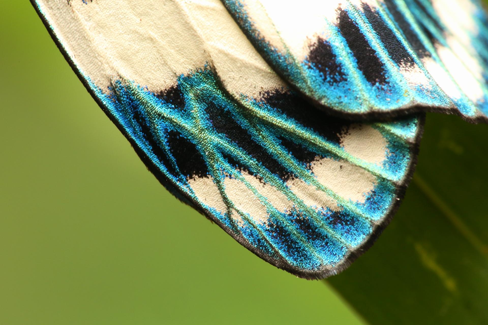 蝶蛾類身上都有美麗的衣裳(翅膀)。(光輝螢斑蛾),攝影|黃仕傑