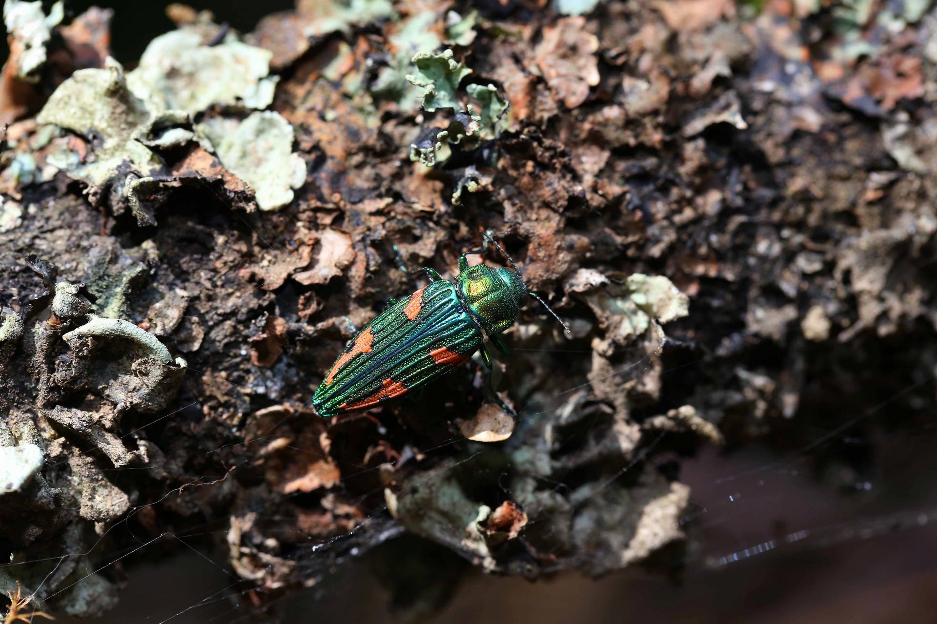 牠是台灣公認最難遇到的保育類昆蟲。(妖豔吉丁蟲 保育類昆蟲),攝影|黃仕傑