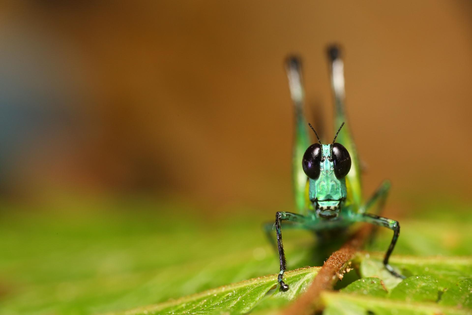 雨林中願意面對面談心的昆蟲。(馬來西亞雨林 突眼蝗蟲),攝影|黃仕傑