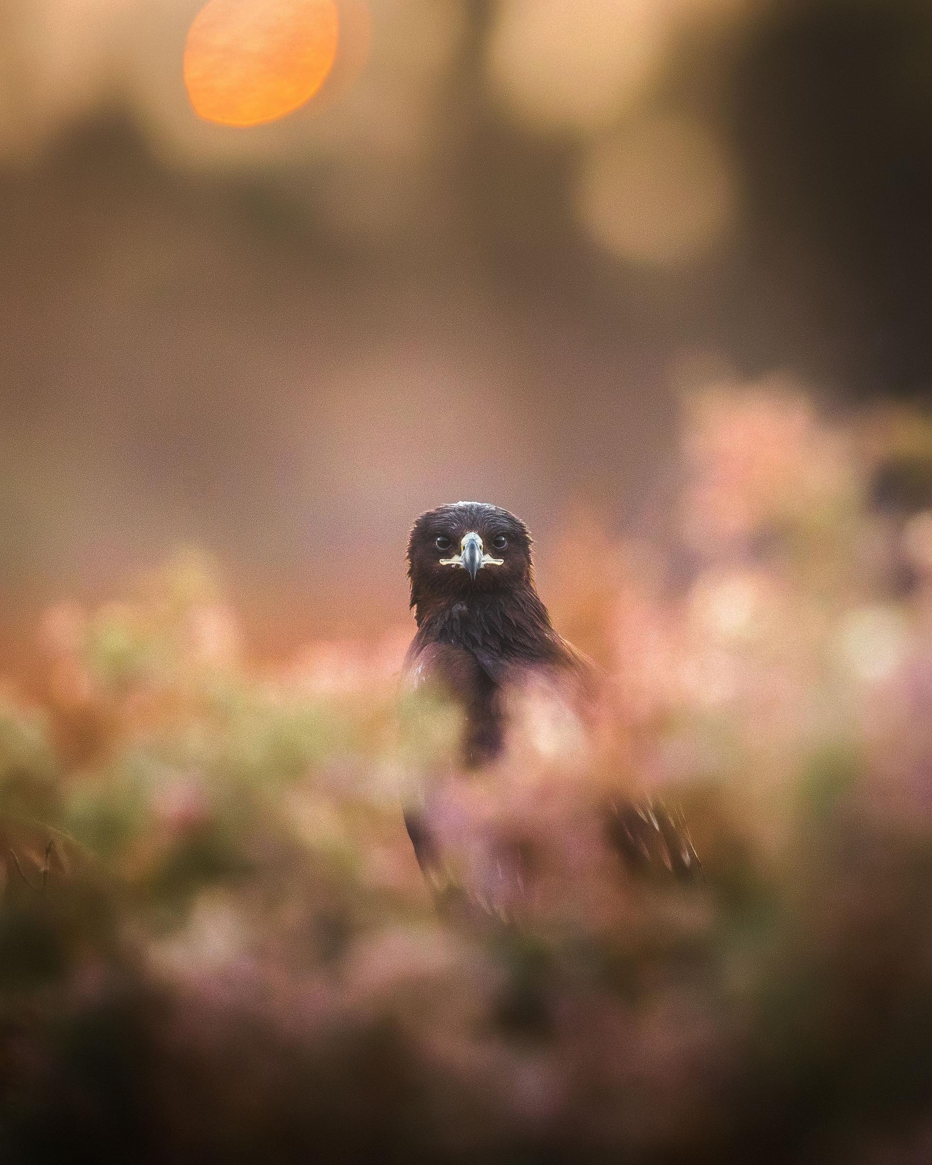 當我在攝影時,一隻老鷹從斑斕的色彩間望向我。於是我轉換主題,拍下了一些很棒的老鷹照片,這是其中一張。