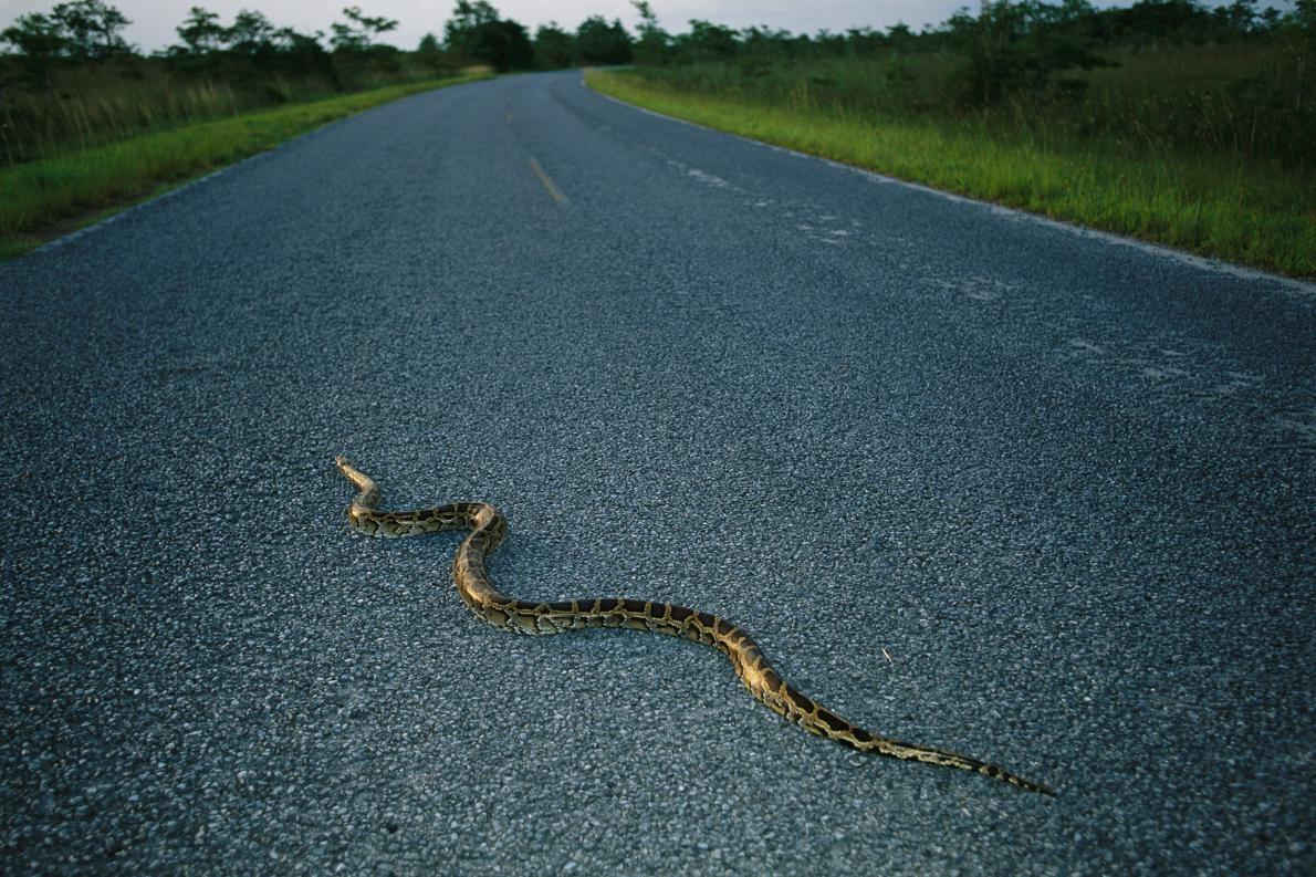 一條緬甸蟒(Burmese python)正穿越佛羅里達的馬路。這種蛇原生東南亞,估計目前有成千上萬隻生活在佛羅里達大沼澤(Everglades)中,造成了原生種哺乳動物的大浩劫。PHOTOGRAPH BY MELISSA FARLOW, NAT GEO IMAGE COLLECTION