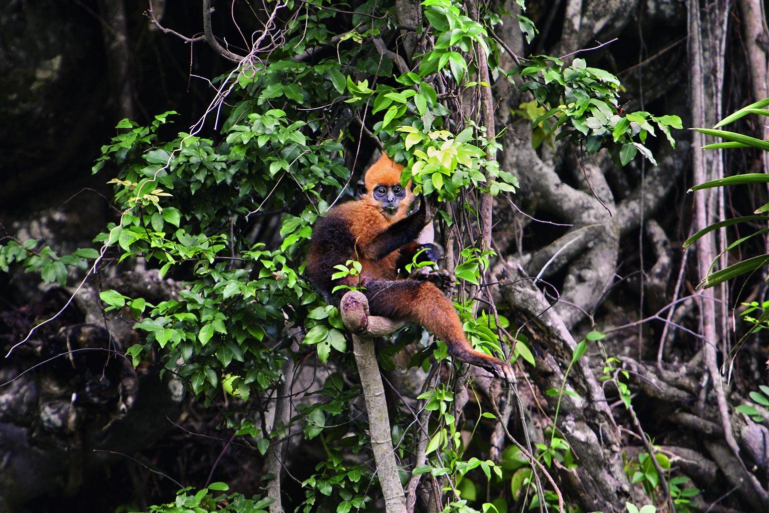只存在於越南卡巴島的金頭葉猴,曾經被獵捕作為傳統藥材之用。PHOTO: MAI SY LUAN, CAT BA LANGUR CONSERVATION PROJECT.