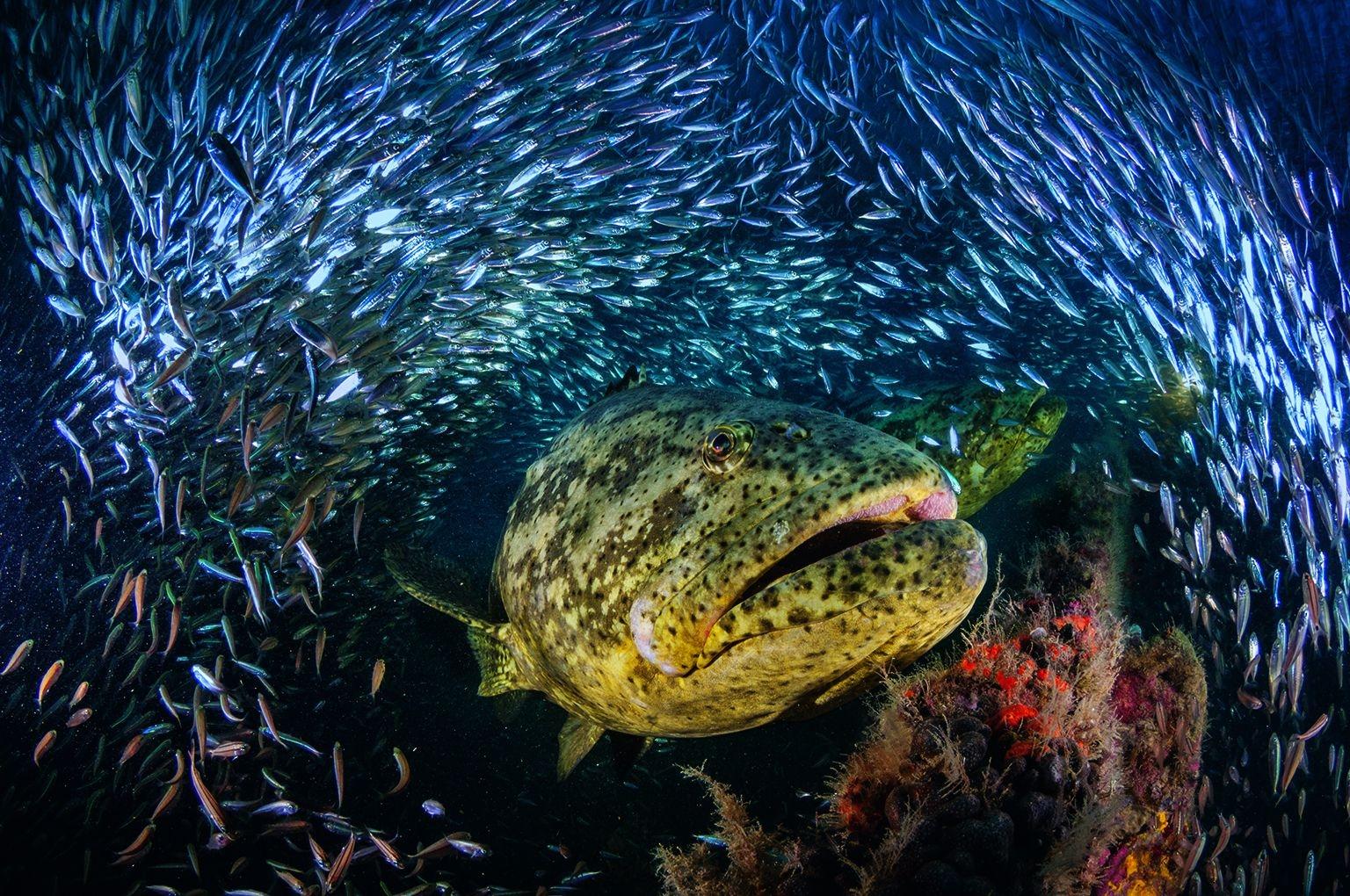 佛羅里達外海的一艘二次大戰沉船上,伊氏石斑魚從多如雪花的餌料魚之間現身。攝影:大衛.都必烈、珍妮佛.海斯 David Doubilet and Jennifer Hayes