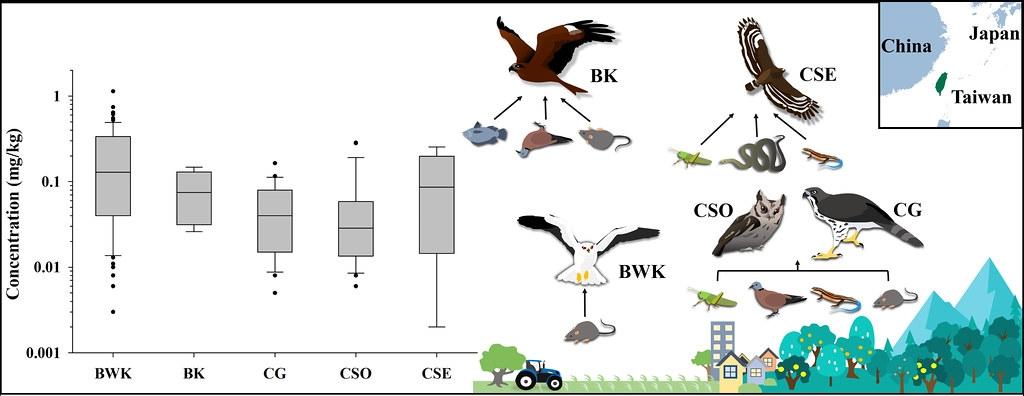 五種常見猛禽(BWK黑翅鳶、BK黑鳶、CG鳳頭蒼鷹、CSO領角鴞、CSE大冠鷲)的主要食性,以及肝臟中殘留老鼠藥的平均濃度(mg/kg = ppm = 1000 ppb)。繪圖:魏心怡。