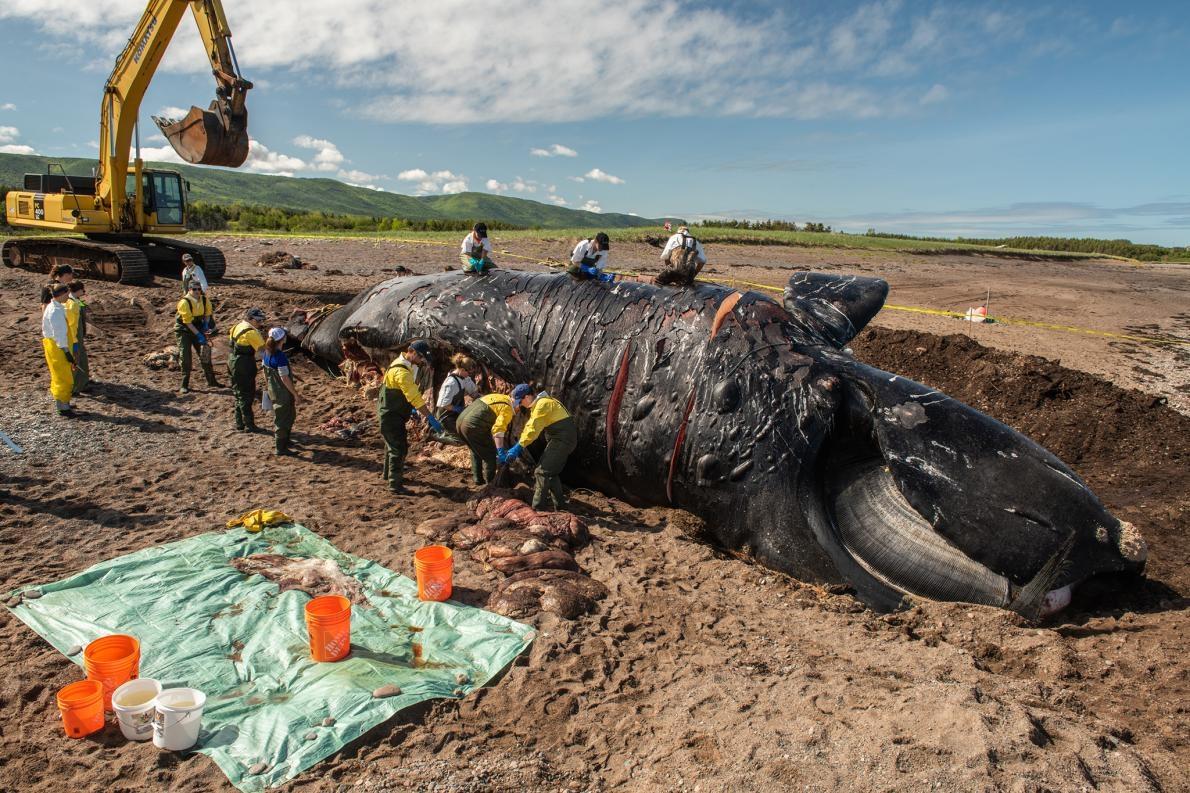 研究人員正在解剖雌性北大西洋露脊鯨「標點符號」(Punctuation),牠因為皮膚上的疤痕而得名。6月時在聖羅倫斯灣(Gulf of St. Lawrence)發現了牠的屍體。過去六個星期以來已經發現了六頭死亡的北大西洋露脊鯨,牠是其中之一。 PHOTOGRAPH BY NICK HAWKINS