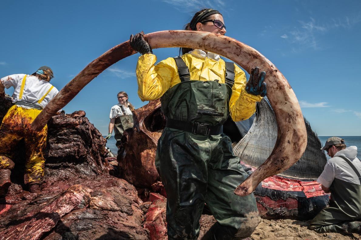 一位研究人員從九歲大的雄露脊鯨「金鋼狼」(Wolverine)身上取下一根肋骨。解剖小組尋找瘀青、骨折和出血的狀況,這些是指向鈍力外傷的證據,會符合船隻撞擊造成的傷勢。初步結果並未找到死因,但更進一步的組織樣本分析或許可以提供答案。PHOTOGRAPH BY NICK HAWKINS