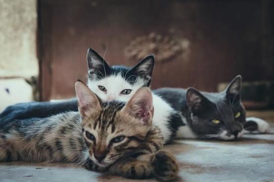人類唯一馴化的貓科動物──家貓(Felis catus)