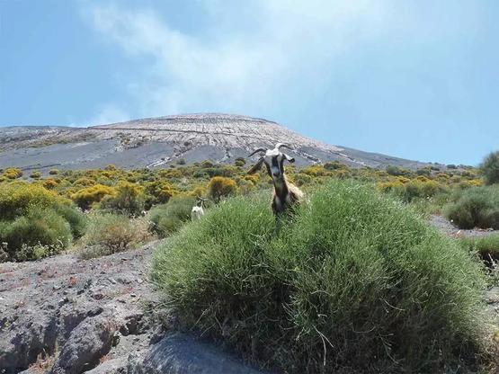 常年生活在西西里島埃特納火山的山羊,它們對火山內部活動有著敏銳的直覺。圖片來源:Lorenzo Blangiardi via Flickr CC