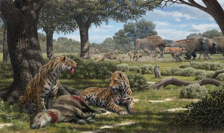 樹影灑落在吃著一隻森林植食性動物的劍齒虎身上,而恐狼正在更新世的加州開闊草原上追逐野牛。根據牙齒分析,美國西部的劍齒虎最有可能居住在森林中狩獵貘或鹿等獵物。ILLUSTRATION BY MAURICIO ANTÓN
