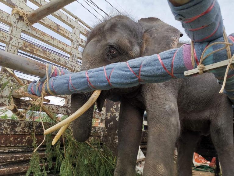 歸宏在運輸卡車上站了全程14個小時。卡車上安裝了木頭橫梁,泡棉襯墊,還有很多大象的食物。PHOTOGRAPH BY SAVE ELEPHANT FOUNDATION