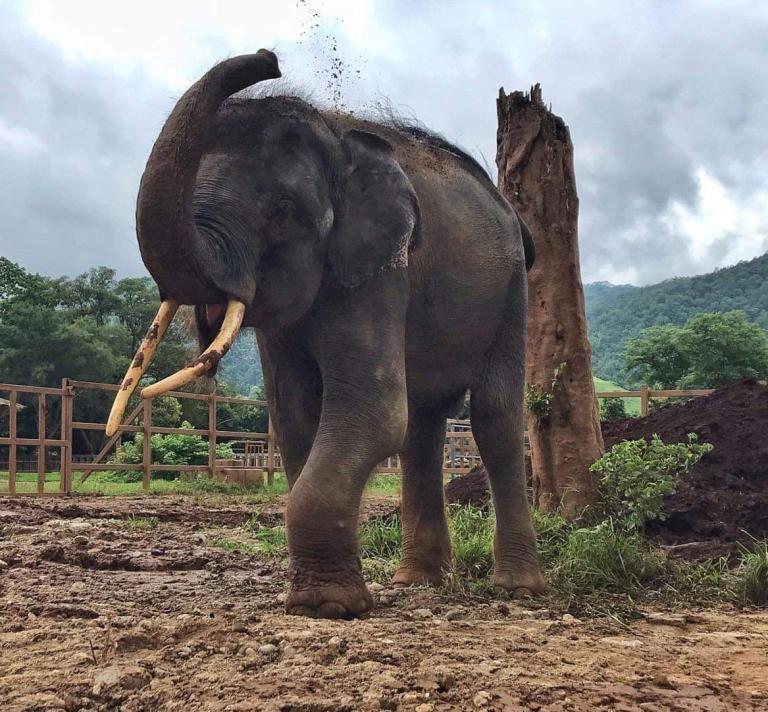 沒有鐵鍊綑綁的歸宏,8月8號在大象自然公園園區內往自己背上扔泥土。PHOTOGRAPH BY SAVE ELEPHANT FOUNDATION