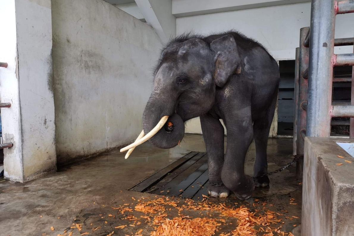 歸宏是一隻年幼的雄象,站在泰國北欖鱷魚湖動物園獸欄中的牠,正等著8月6日星期二那天最後的時刻到來。牠吃了些水果,然後被送上卡車,前往位於清邁的新家「大象自然公園」。PHOTOGRAPH BY SAVE ELEPHANT FOUNDATION