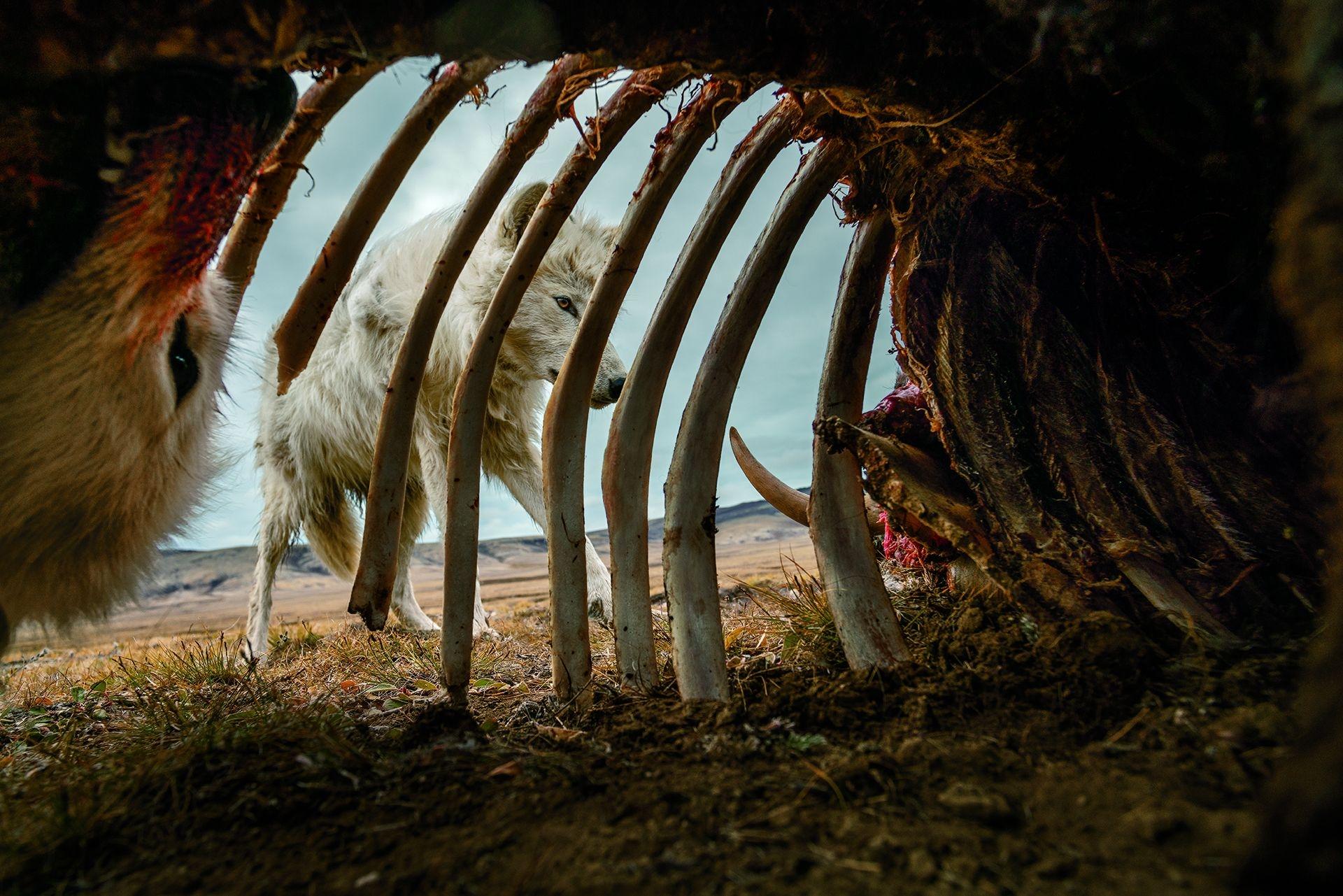 狼群享用麝牛的殘骸。為了拍攝這張照片,攝影師羅南.唐納文在屍體裡架設了一個自動相機。這群狼斷斷續續地回去吃了一個月。攝影:羅南.唐納文 RONAN DONOVAN