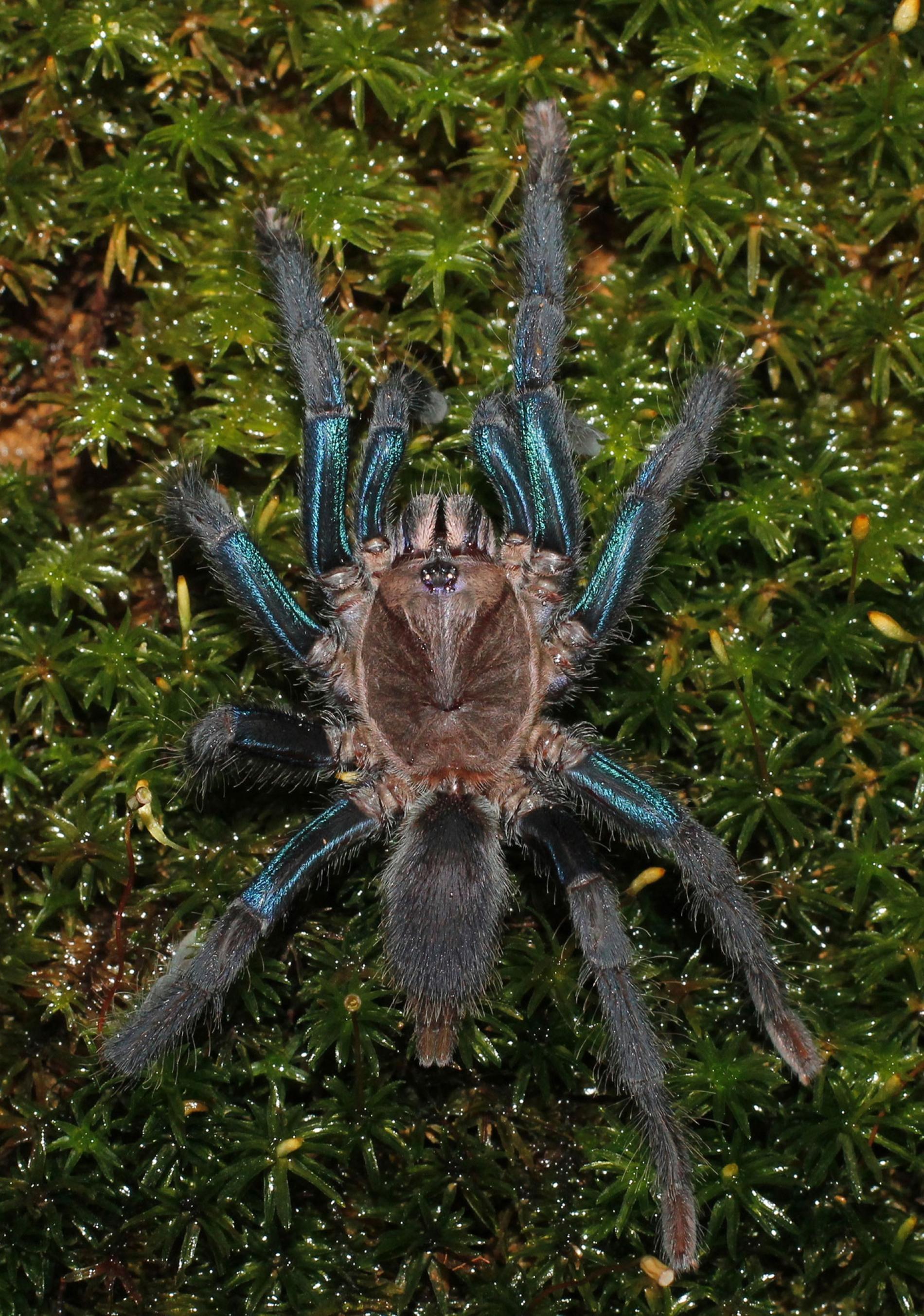 新種蜘蛛的雌性有著亮藍色的腿,雄性則是苔蘚般的褐色。PHOTOGRAPH BY RANIL P. NANAYAKKARA