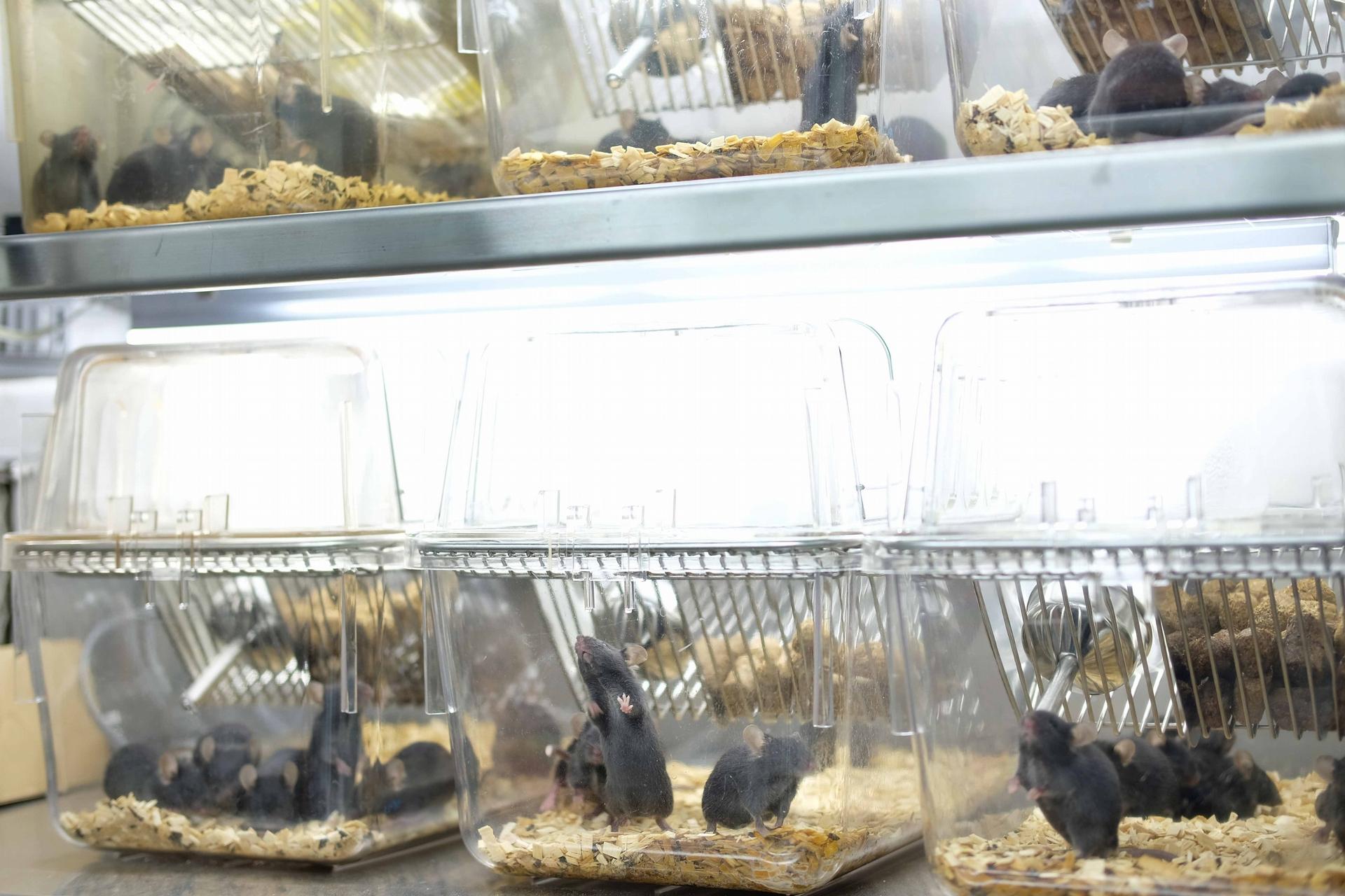 實驗室裡正接受光照、調控生理時鐘為白天的小鼠們。攝影│林婷嫻