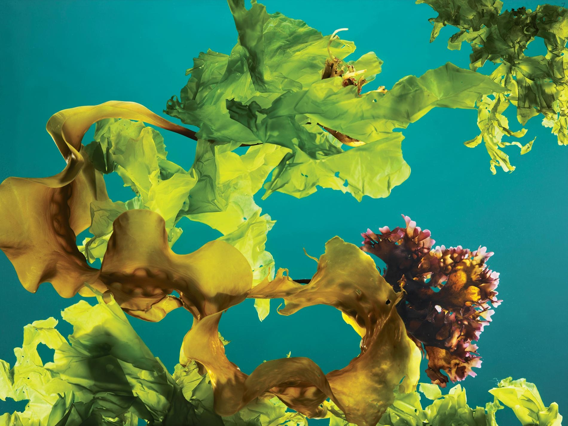 緬因外海採收的海帶 (kelp)、愛爾蘭紅藻(Irish moss)和石蓴(sea lettuce)。PHOTOGRAPH BY REBECCA HALE, NAT GEO IMAGE COLLECTION