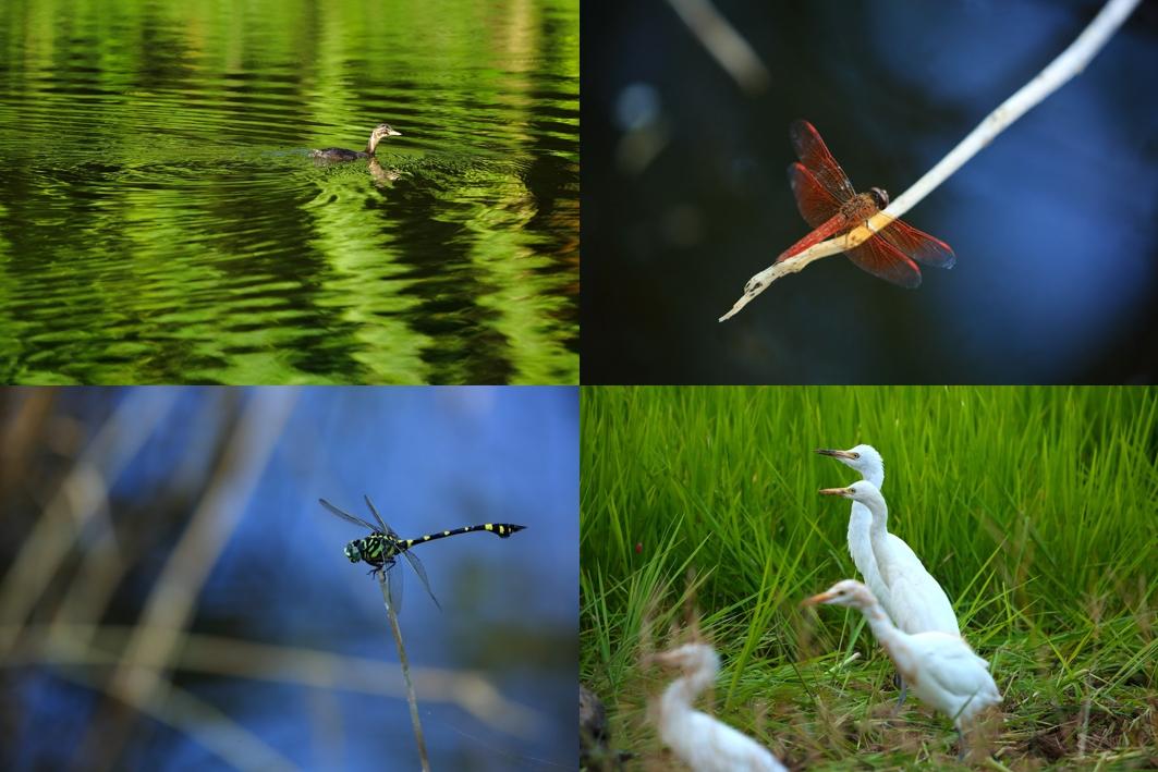田鱉米的農田旁有埤塘,和貢寮水梯田一樣都是谷津田(源自日文やつだ:指在谷地中開闢水梯田種植水稻,往往具有多樣化的棲地如水田、埤塘、溪流、聚落等),友善環境的耕作方式,吸引來許多生物棲息,如小鸊鷉(左上)、粗鉤春蜓(左下)、褐斑蜻蜓(右上)、牛背鷺(右下)。(攝影:陳郁文)