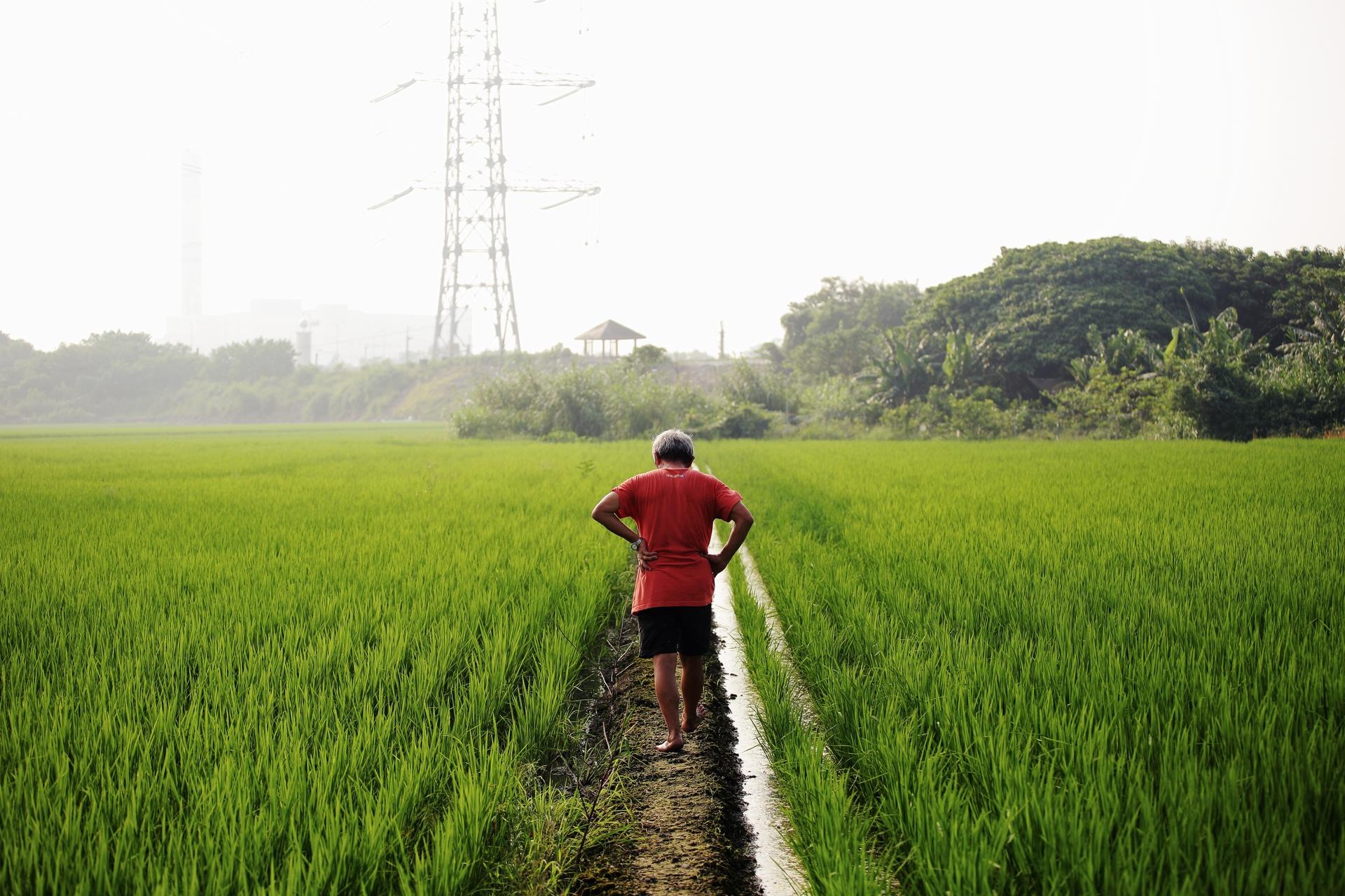 鍾兩福赤腳走在土堤田梗上,巡視他以自然農法友善環境耕作的稻田,由於不施化學農藥,雜草與稻田交雜而生,看來有種野生農地的樸拙感。友善環境耕作乃農耕過程符合環境友善、不使用合成化學物質、基因改造生物及其產品之耕作方式,可說是從慣行農法轉型至有機農法的過渡方式。(攝影:林韋言)