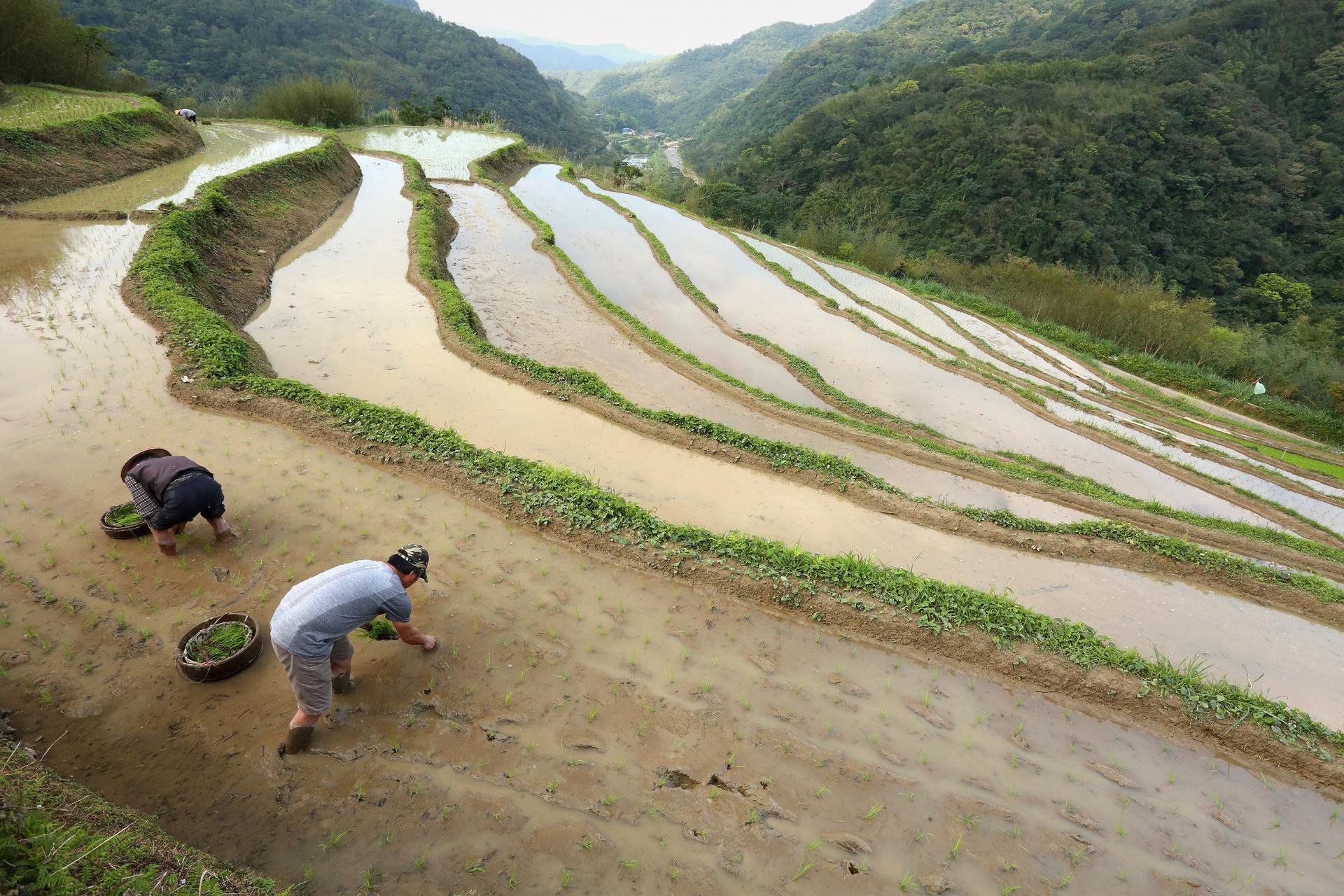 水梯田依著山勢開闢,面積狹小,無法使用大型機械加速農事,但緩慢的步調也為田間生物保留下一線生機,有足夠時間恢復成長。(攝影:陳郁文)
