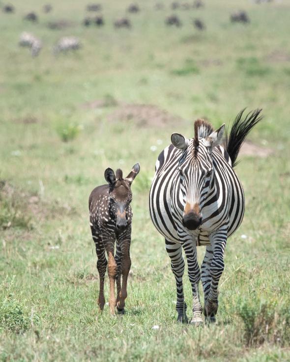 在最近的一張照片中,提拉和母親一起走過肯亞的馬賽馬拉國家保護區。PHOTOGRAPH BY FRANK LIU