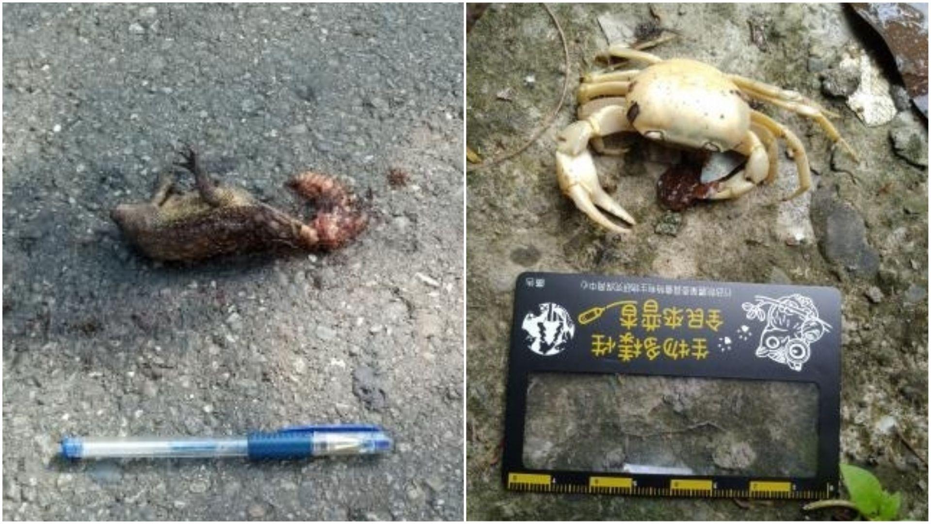 路殺社員們會將動物屍體拍照上傳資料庫,若是遇到完整的屍體,則會仔細包裝,送至特生中心供研究或做成標本。(圖/翻攝自台灣動物路死觀察網,攝影吳志立、海雲)