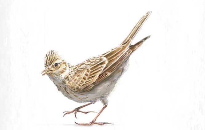 改種更高和更密集的穀類作物,迫使歐亞雲雀得另尋築巢地點。
