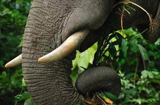 大象踐踏植被,推倒樹木,並不斷為森林創造「開口」,為生長速度緩慢的植被留出了生長空間|tontantravel