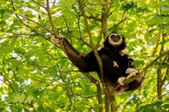常以果實為食的長臂猿|Pixabay