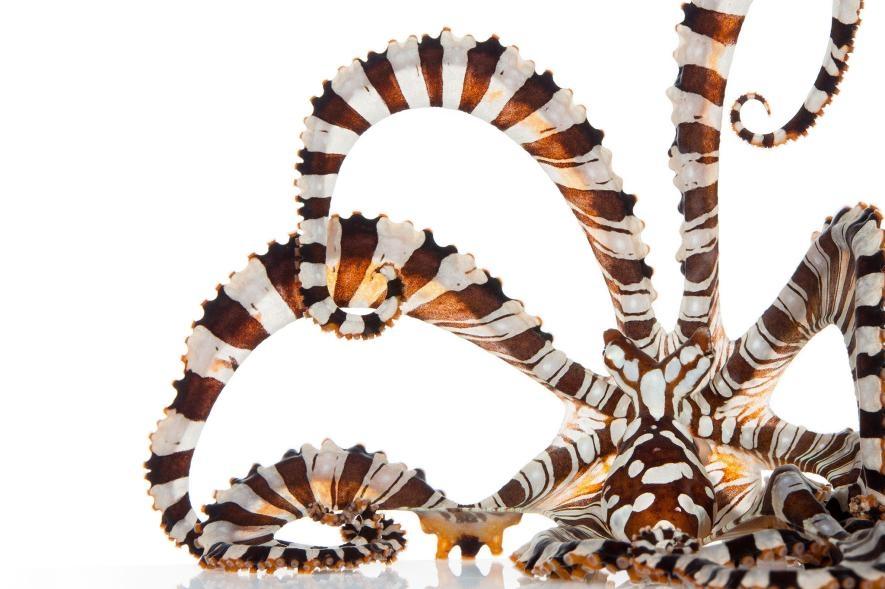 人們在1980年代發現了斑馬章魚,但我們對這些神秘物種的行為幾乎一無所知。PHOTOGRAPH BY DAVID LIITTSCHWAGER, NAT GEO IMAGE COLLECTION