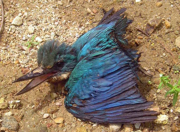 塔克隆島國家海洋保護區也受到此次油汙嚴重影響。圖為在沿海紅樹林救出的傷鳥。Shubert Ciencia攝(CC BY 2.0)