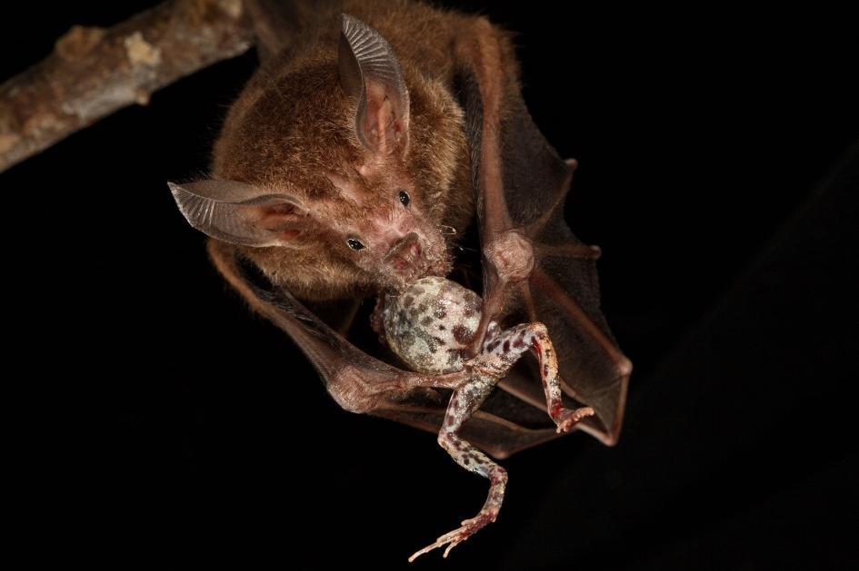 在巴拿馬的巴羅科羅拉多島上,一隻粗面蝠大啖一隻南美泡蟾。PHOTOGRAPH BY CHRISTIAN ZIEGLER, NAT GEO IMAGE COLLECTION