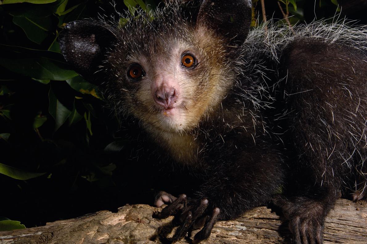 指猴擁有古怪特徵的大雜燴,例如巨大的耳朵、毛茸茸的尾巴、類似囓齒動物的牙齒,以及一根用來從樹木撬出昆蟲幼蟲的超長第四指。PHOTOGRAPH BY PETE OXFORD, NAT GEO IMAGE COLLECTION