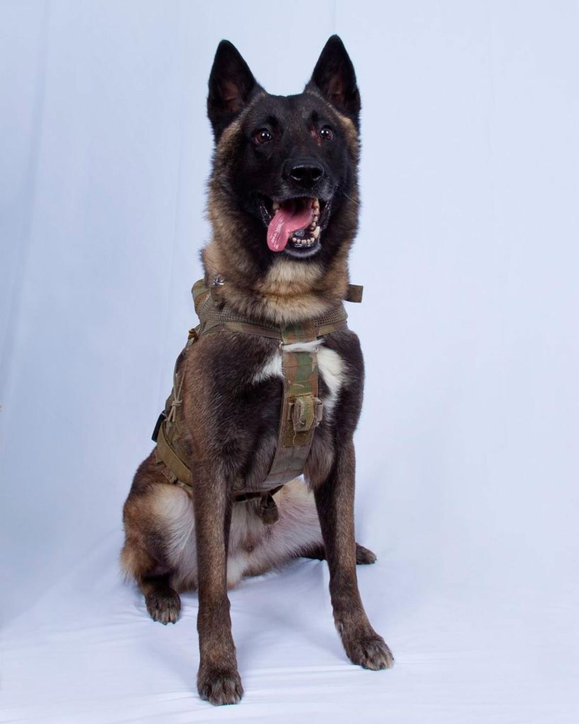 軍犬柯南(Conan)在敘利亞追蹤伊斯蘭國領袖阿布.巴克.巴格達迪(Abu Bakr al-Baghdadi)的突襲過程中「受到輕傷」,但幾天後牠已回歸工作崗位。 PHOTOGRAPH BY WHITE HOUSE VIA AP