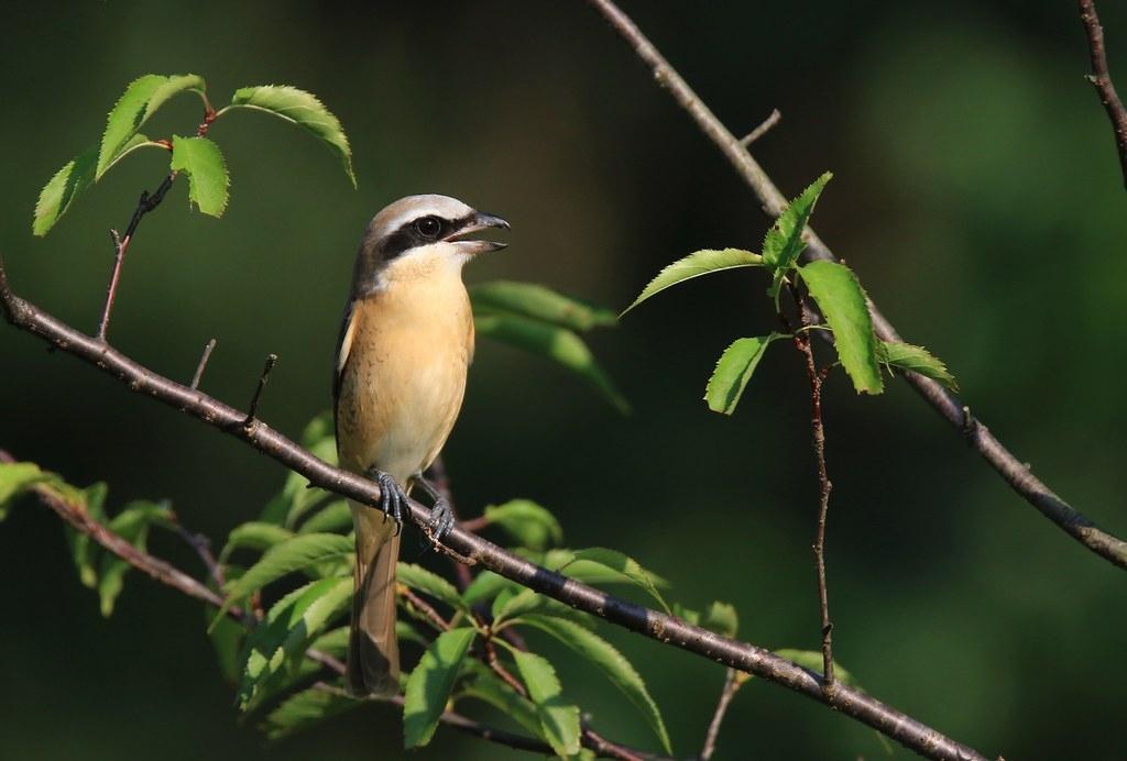 讓紅尾伯勞在樹上唱歌,而非設鳥仔踏獵捕。攝影:呂翊維