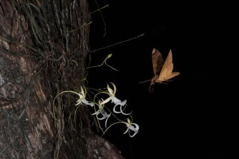 在螺旋沼澤,一隻獅身人面像蛾(<i>Pachylia ficus</i>)為一株鬼蘭授粉後徘徊在花朵上方。PHOTOGRAPH BY MAC STONE